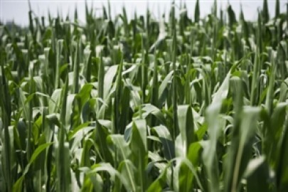 'Evergreen agriculture' could impact future biofuel composition